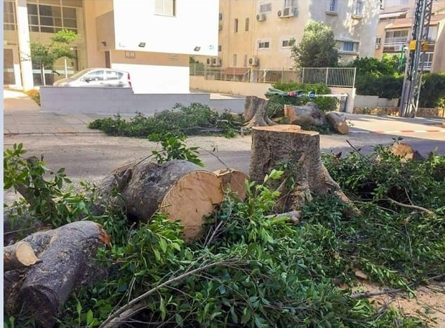 Trees cut to the stump - Kfar Saba